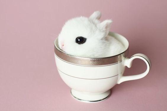 conejo toy o conejo enano color blanco