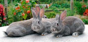 conejos gigantes de raza chinchilla gigante