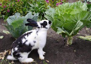 conejo gigante moteado