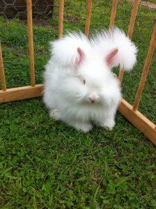 conejo angora francés