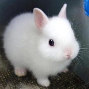 razas de conejos enanos o mino toy