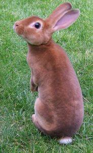 razas de conejos rex de pelaje rojo