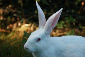 Significado del conejo blanco