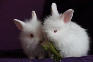 Raza de conejo blanco con ojos rojos enanos