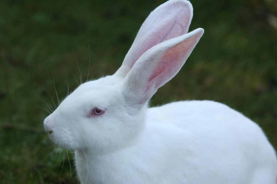 Conejo blanco de ojos claros