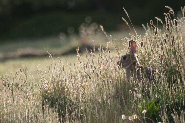 depredadores-de-conejos-naturaleza