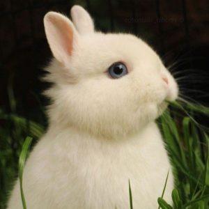 conejo blanco de ojos azules conejo enano polones