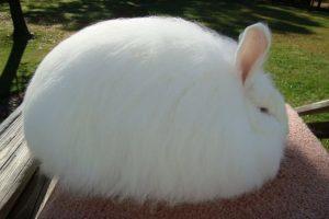 conejo blanco gigante de angora
