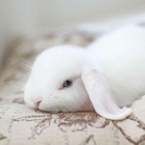 conejo blanco de ojos azules raza de conejo blanco belier